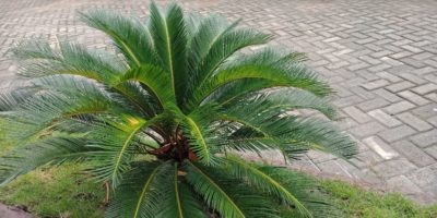 Choosing the right palm tree species is probably the most fun part